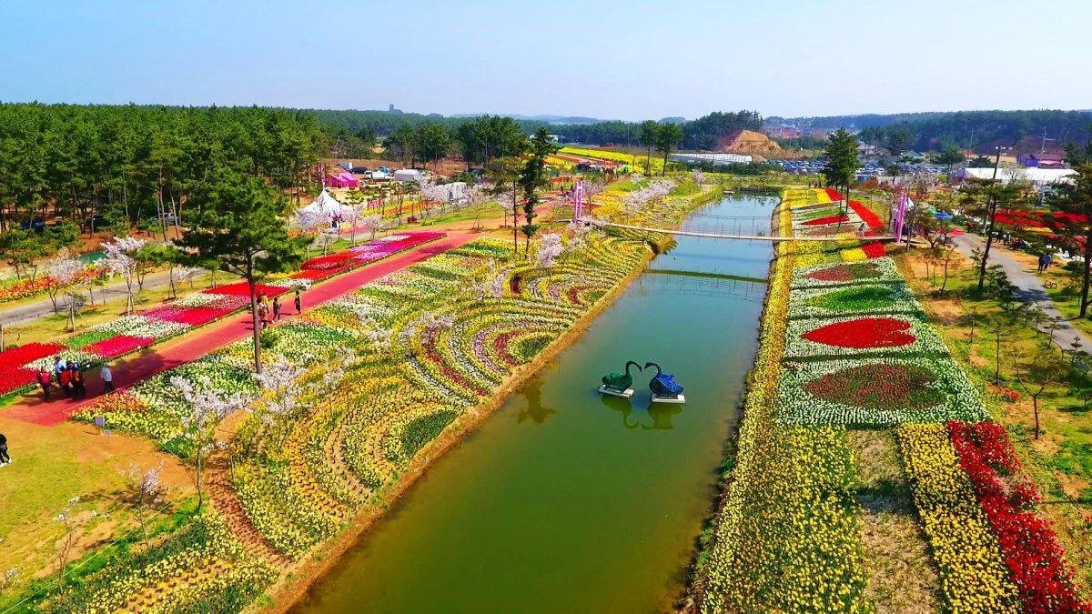 Festival Tulip Taean Korea Selatan