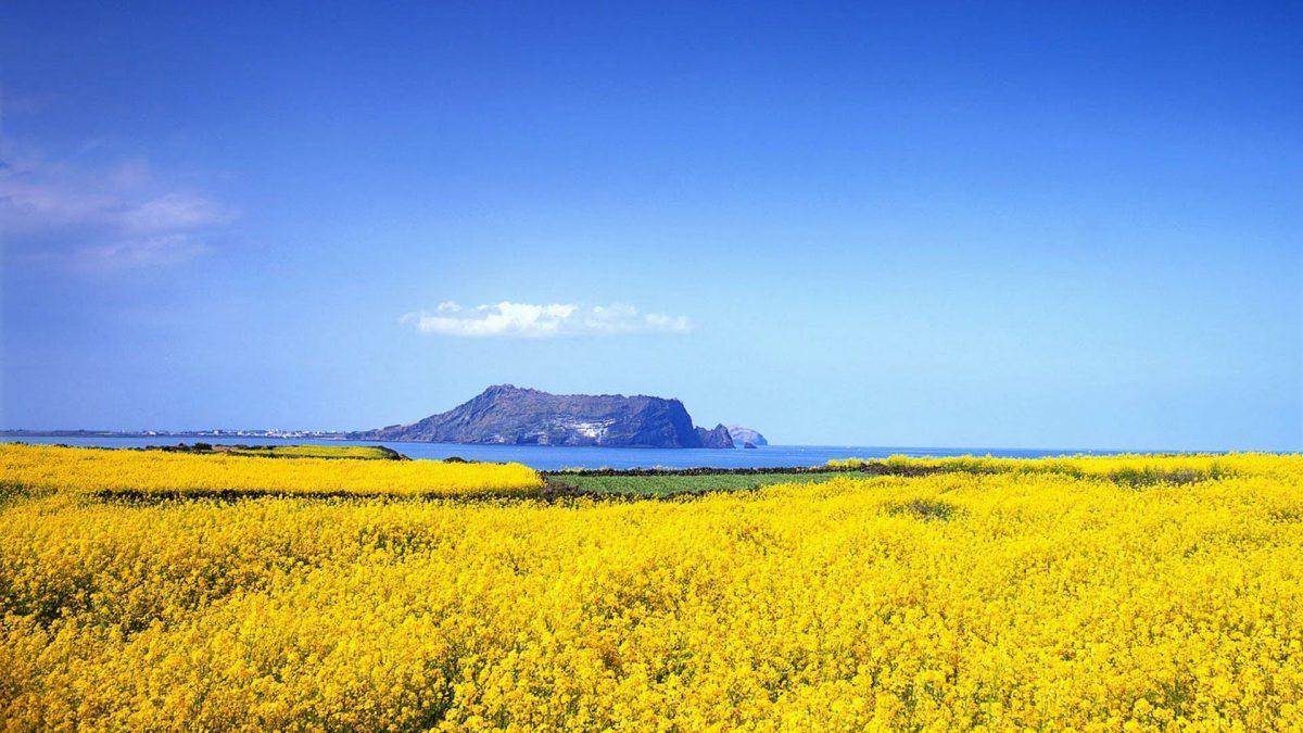 Jeju Canola Flower Festival di Korea Selatan Pertanda Musim Semi Tiba