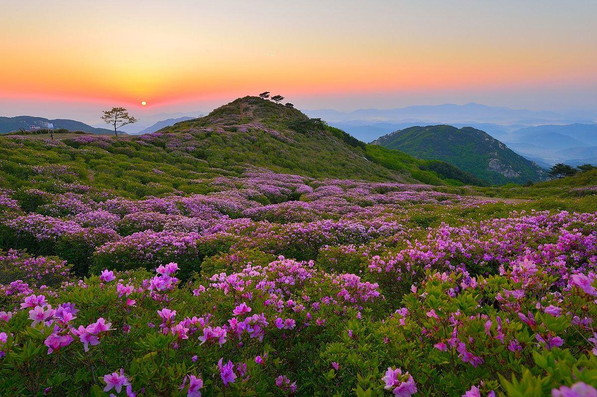 Festival Bunga Royal Azalea Hapcheon Hwangmaesan