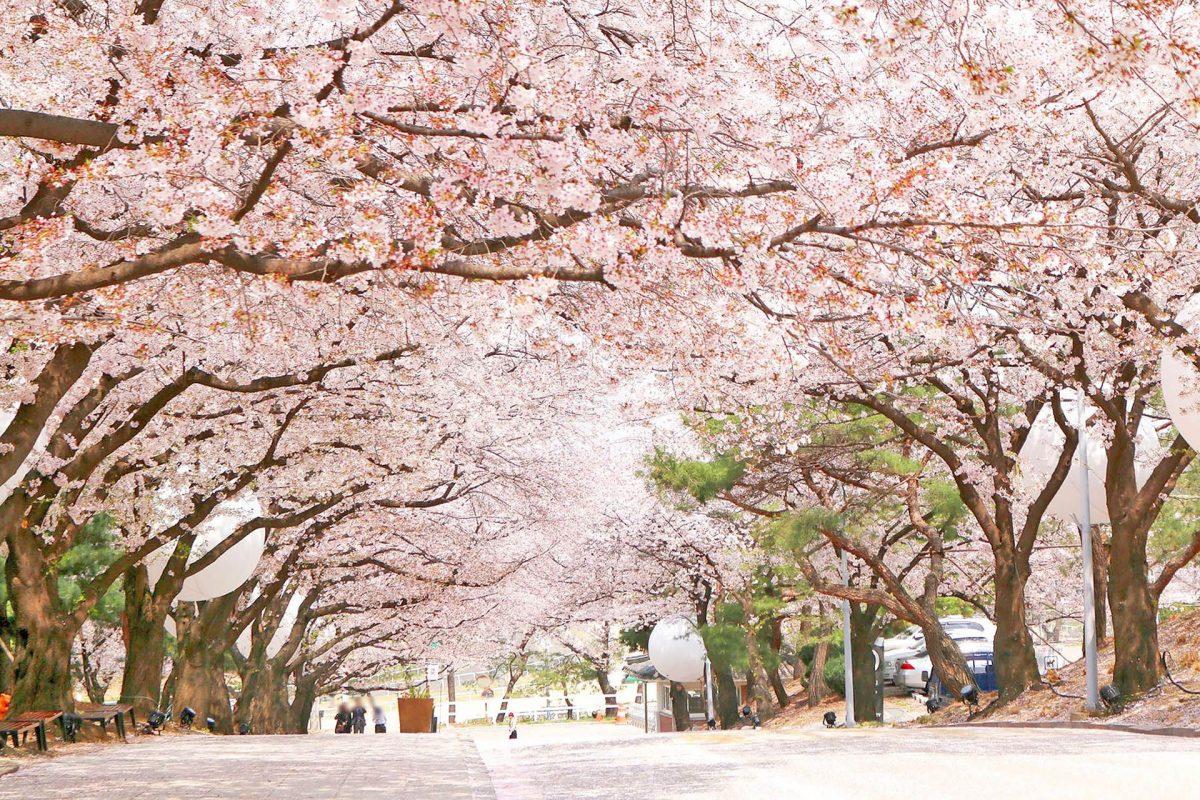 Paket Tour ke Korea Selatan 5 Hari Maret Musim Semi (Spring)
